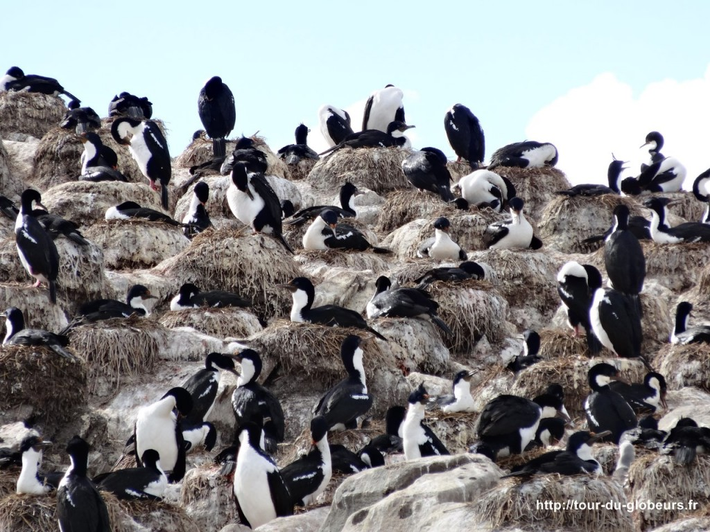 Argentine - Ushuaïa - Cormorans