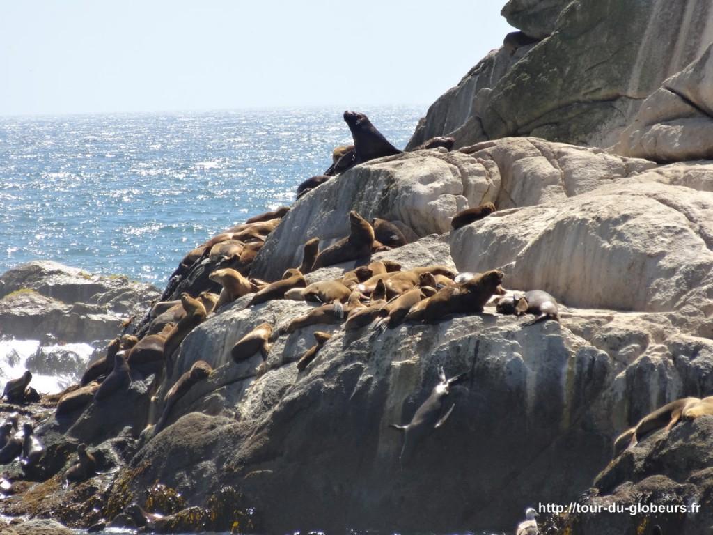 Chili - Vina del Mar - Lions de mer