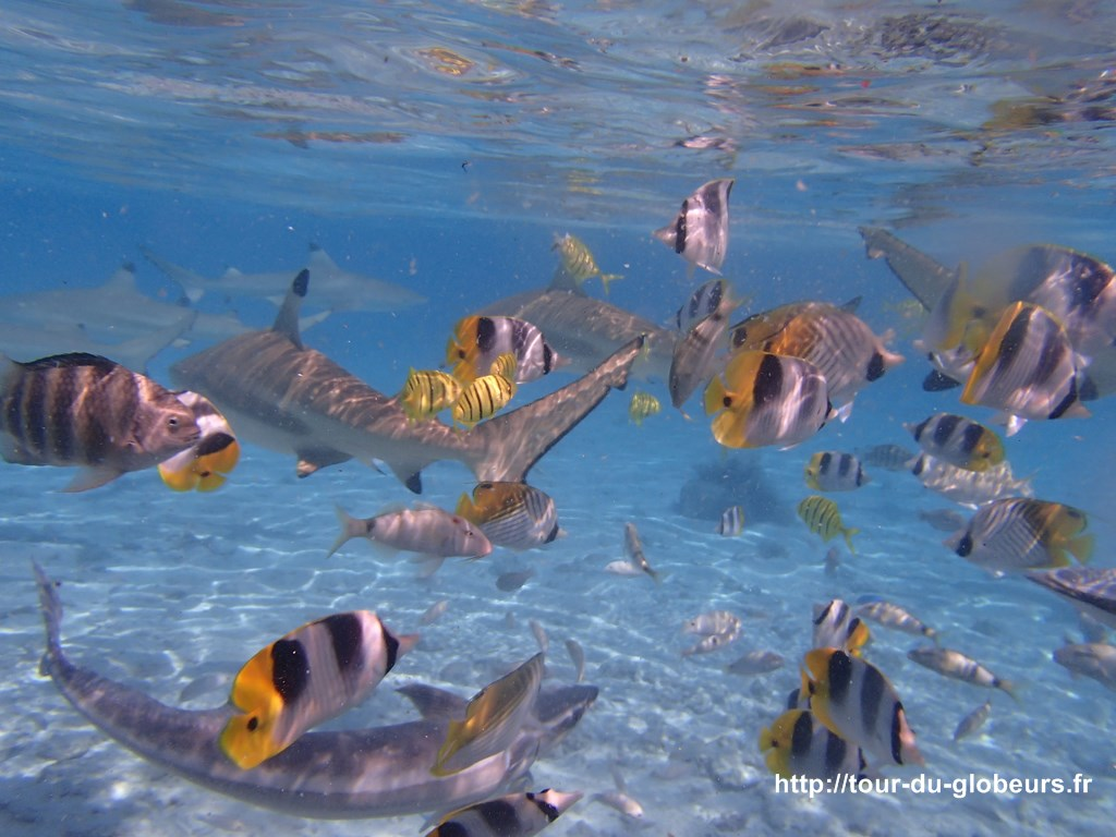Bora bora - Fond sous-marins : poissons et requins