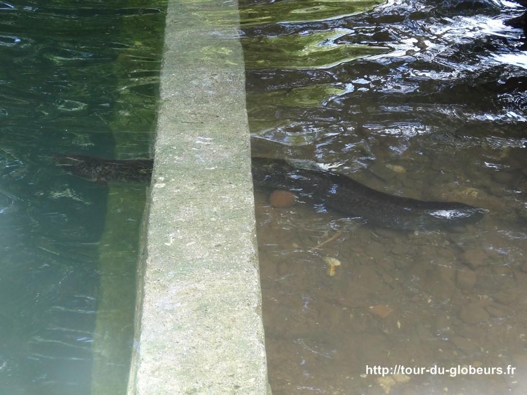 Huahine - Anguilles à la rivière de Faie