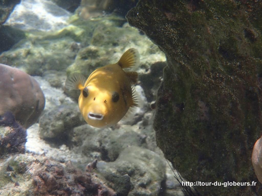 Huahine - Fonds sous-marin : joli poisson jaune