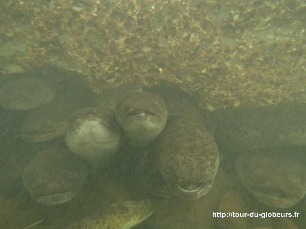 Huahine - Anguilles sacrées aux yeux bleus