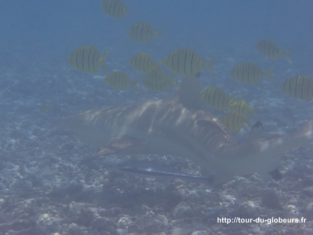Huahine - Requin pointes noires