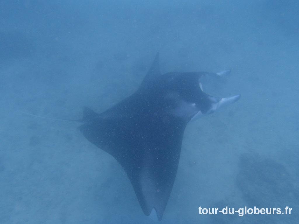 Maupiti - Raie Manta dans le lagon