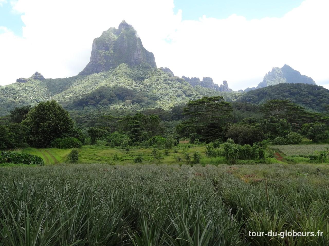 Moorea - plantation d'ananas