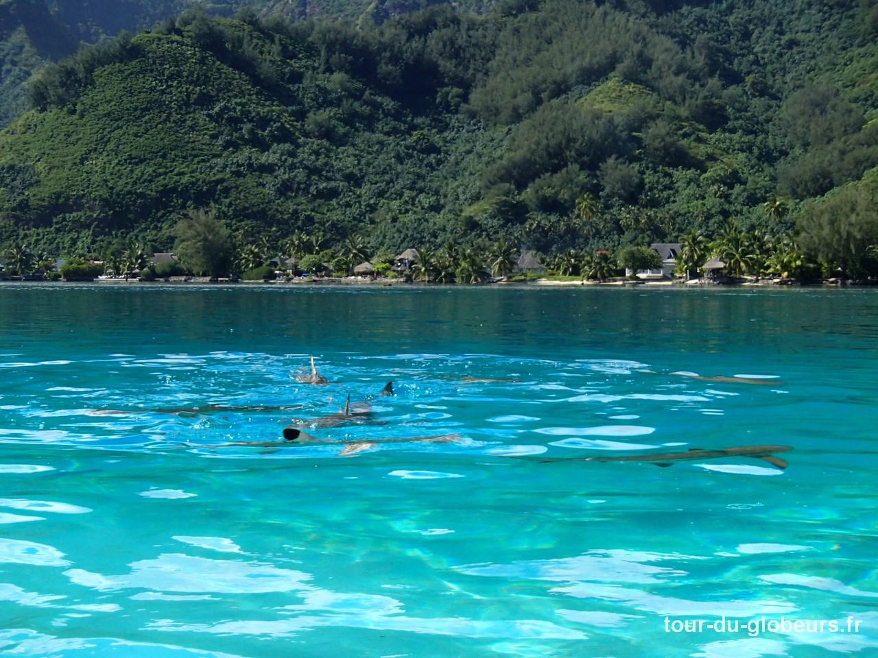 Moorea - requins pointes noires
