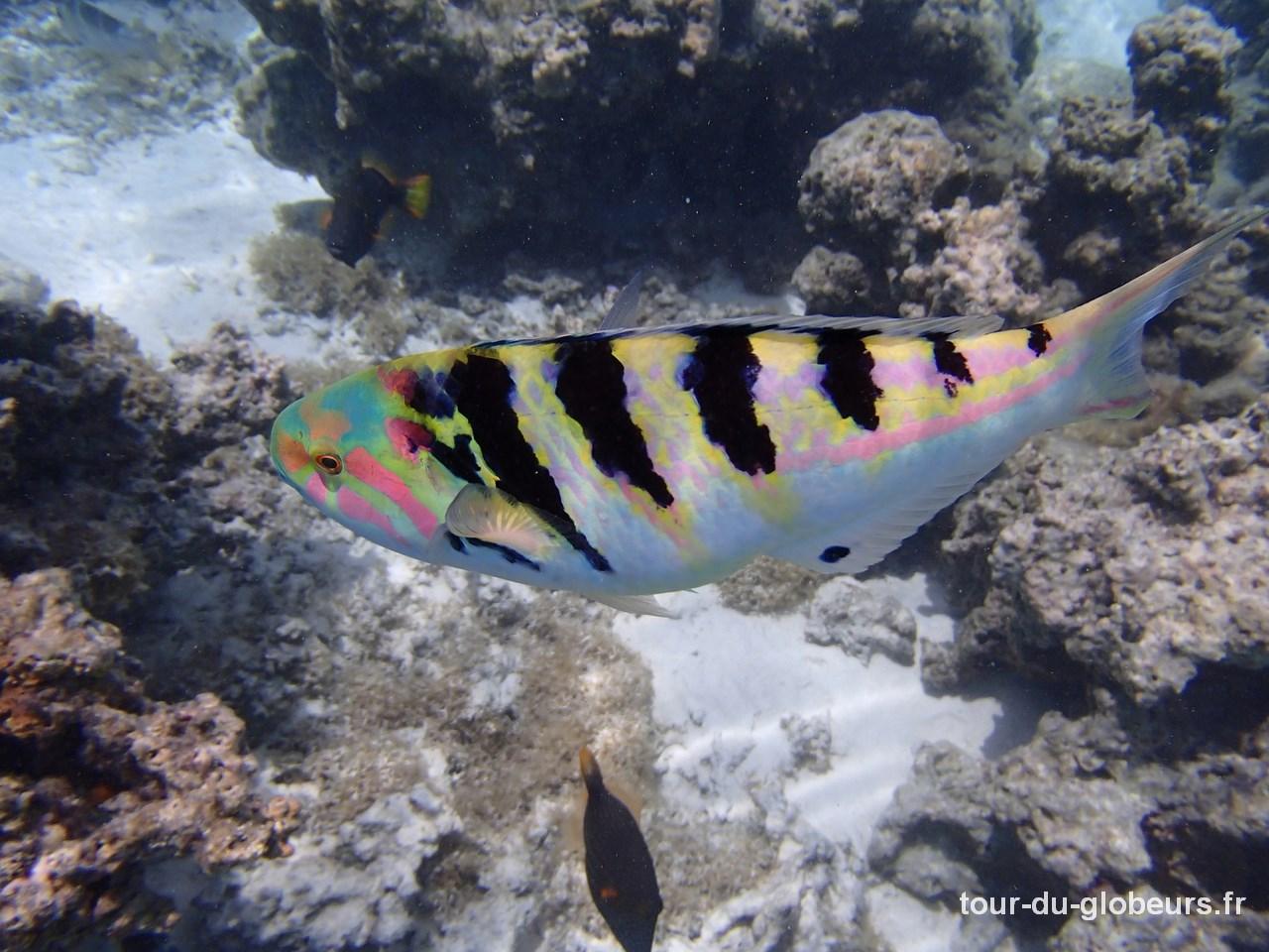 Moorea - poisson perroquet
