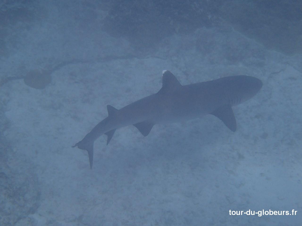 Nle-Calédonie - Lifou - Requin